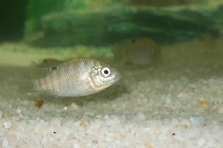 Tilapia Rendalli Fish - 50 Fingerlings