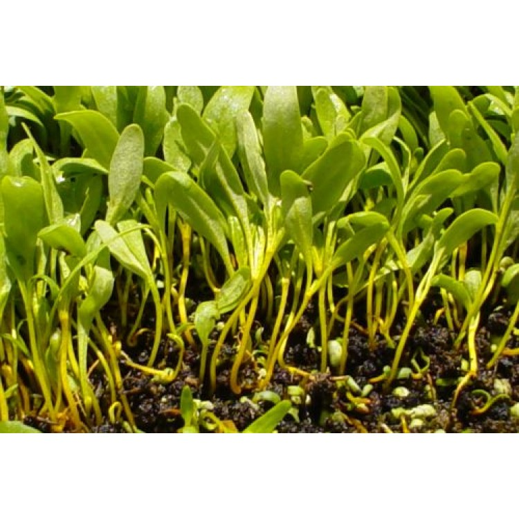 green-swiss-chardssprout-and-microgreen-seed-9906-750x750.jpg