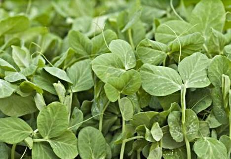 microgreens-sprouting-peas-100.jpg