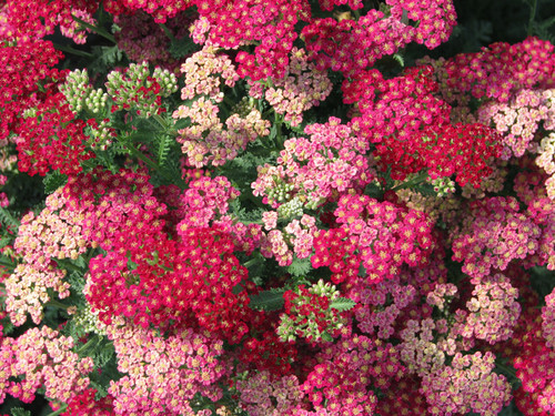 yarrow, yellow yarrow, pink yarrow, cut flower