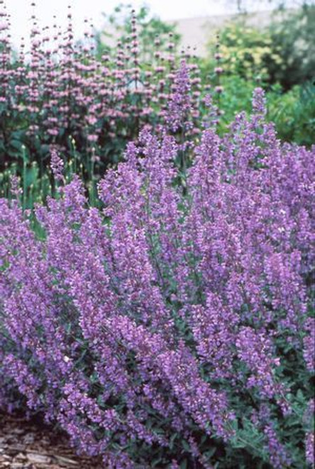 Catmint - 25 Stems