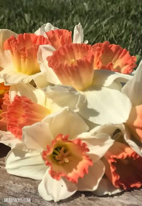 pink charm, narcissus, daffodil