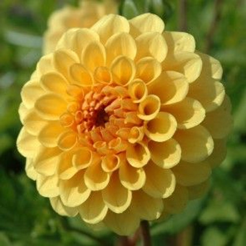 yellow, dahlia, yellow dahlias