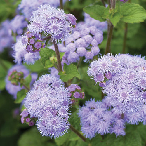 Ageratum Tall Blue Planet