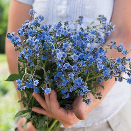 Chinese Forget Me Not, Blue, Cut Flower, Filler