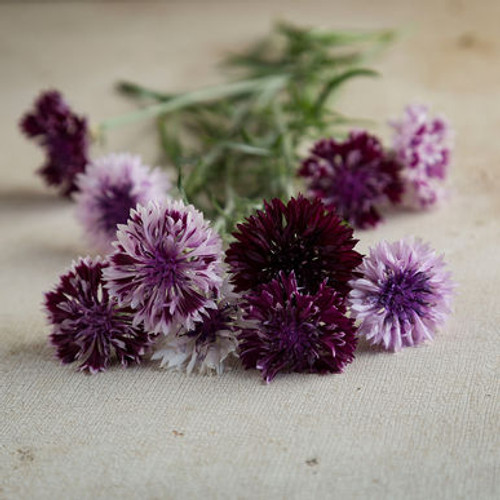 bachelor Button, centaurea, purple, cut flower
