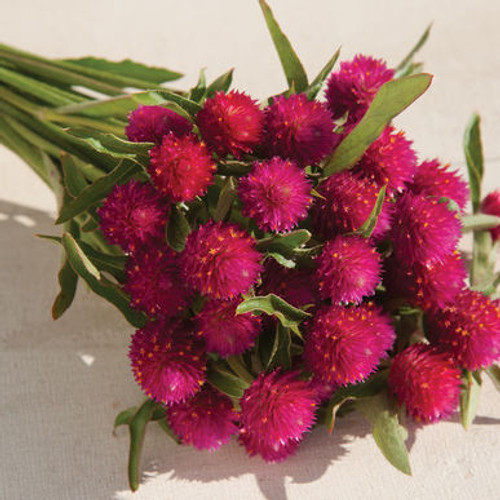 Globe Amaranth, Gomphrena, Hot Pink, Carmine, Cut Flower