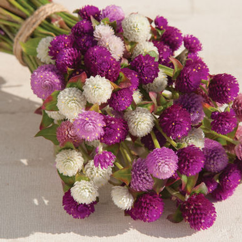 Globe Amaranth, Gomphrena, Cut Flower, Purple