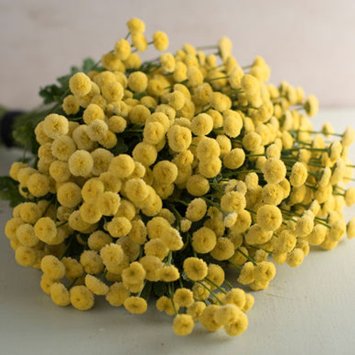 Feverfew, Yellow, Filler, Sunny Ball, Matricaria