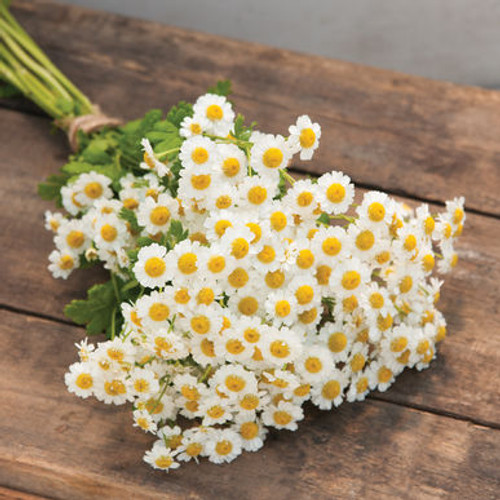 Feverfew, Yellow, Filler, Magic, Matricaria, White
