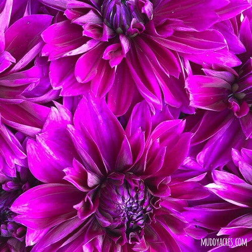 Dahlia, Thomas Edison, Purple Dahlia