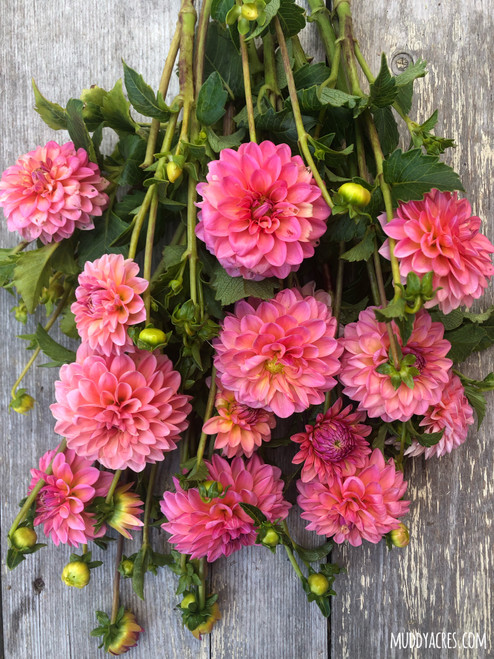 Dahlia, Salmon dahlia, Doris Duke, Ball Dahlia