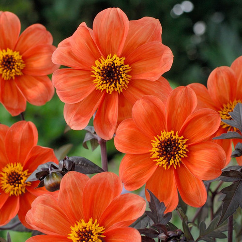 Dahlia, orange dahlia, Bishop, Bishop of Oxford