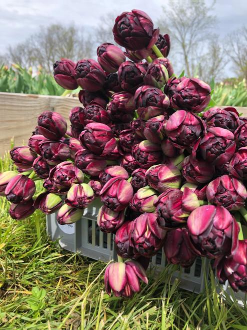 black hero tulip, tulip, black, black hero