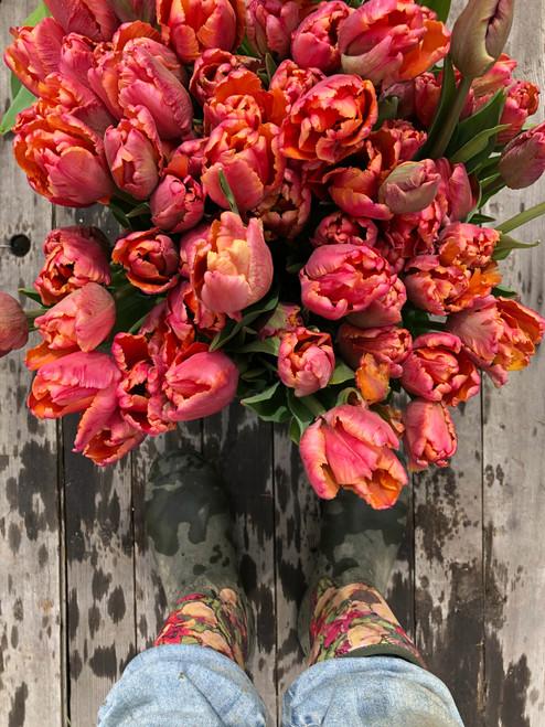 Amazing, Parrot Tulip, Tulip Bulbs Amazing Parrot