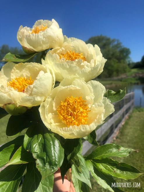 Cheddar Cheese Peony, Yellow Peony, Peonies, White and Yellow Peony