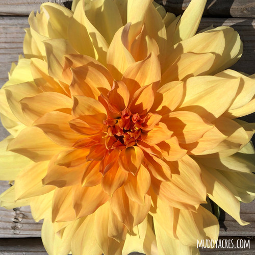 Big Brother Dahlia, Big Brother, Dahlia, Yellow, Orange, Dinnerplate