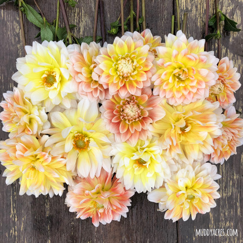 Dahlia, Peaches and Cream, Peaches N Cream, Peach Dahlia, tuber, dahlia tuber