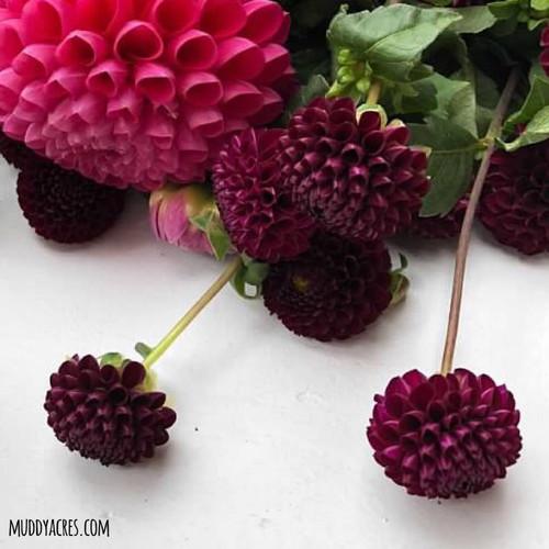 Dahlia, Purple Dahlia, Rocco, Pom, tuber, dahlia tuber