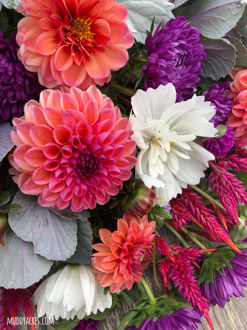 Dahlia, Daisy Duke Salmon Dahlia, Pink Dahlia, tuber, dahlia tuber