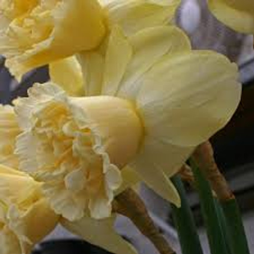 art design, Daffodil, Narcisus, Yellow Daffodil, cream daffodil