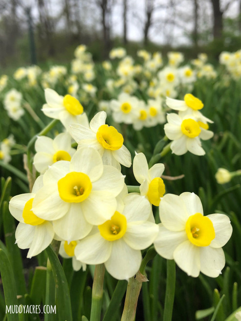 minnow daffodil, narcissus, white and yellow flower