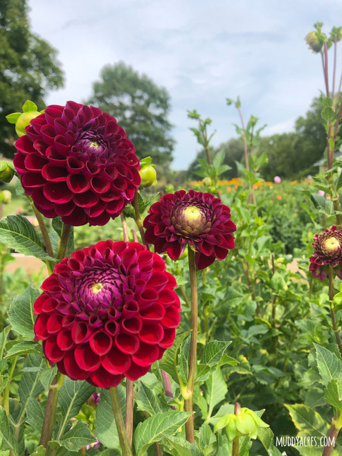 Downham Royal, Dahlia, Red Dahlia, Burgundy Dahlia, Downham Royal Dahlia