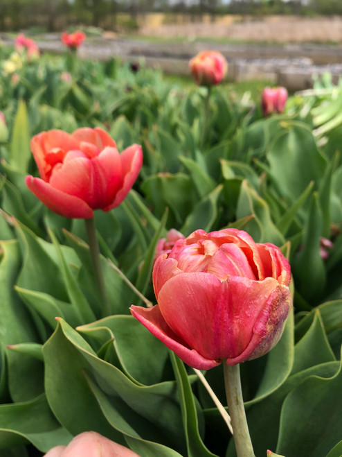 Double Tulip, Copper Image, Tulip Bulbs