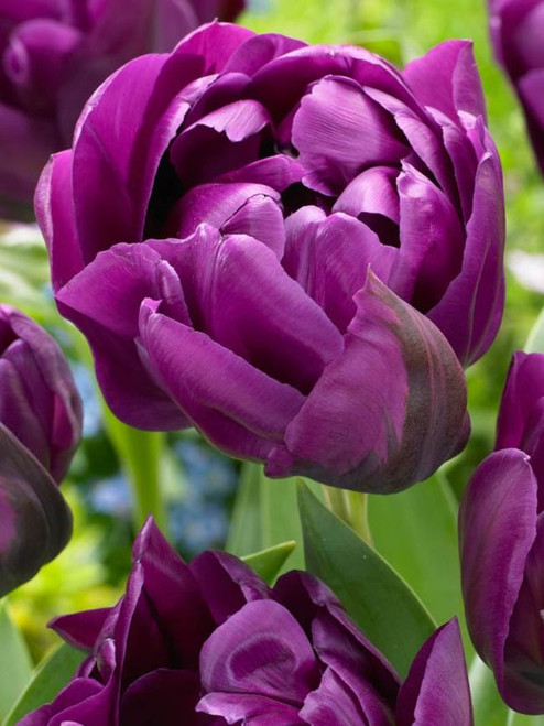 negrita, double tulip, purple tulip, tulip bulbs, cut flower