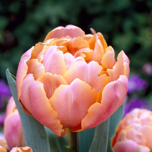 pink star, double tulip, tulip bulbs, cut flower, pink star tulip