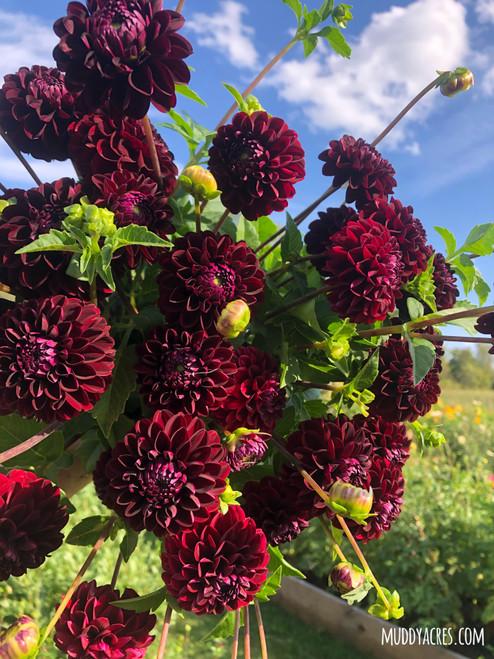 dark spirit, burgundy dahlia, dark dahlia, ball dahlia, tuber