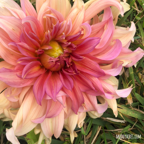 Fairway Spur Dahlia, Fairway Spur, Dahlia, Dinnerplate, tuber, dahlia tuber