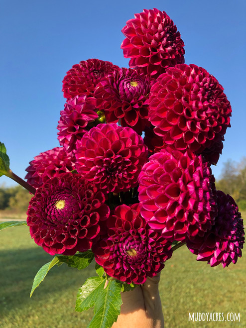 dahlia, Ivanetti, deep red dahlia, burgundy, fall flower, tuber, dahlia tuber