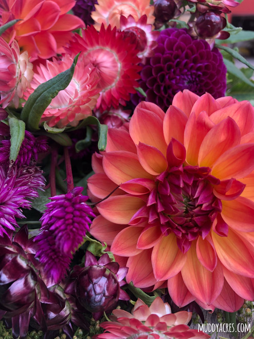 fur elise, dahlia, orange dahlia, peach flower, tuber, dahlia tuber