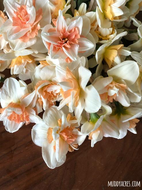 Delnashaugh, Daffodil, Narcissus