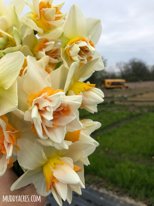Extravaganza, daffodil, narcissus, double