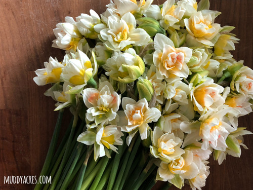 daffodil, my story, narcissus
