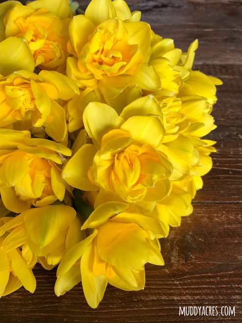 Queen's Day, queens day, daffodil, narcissus