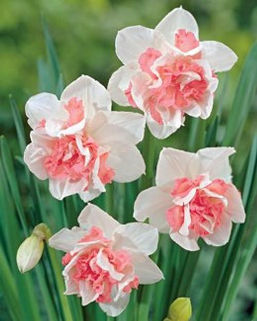narcissus, daffodil, replete