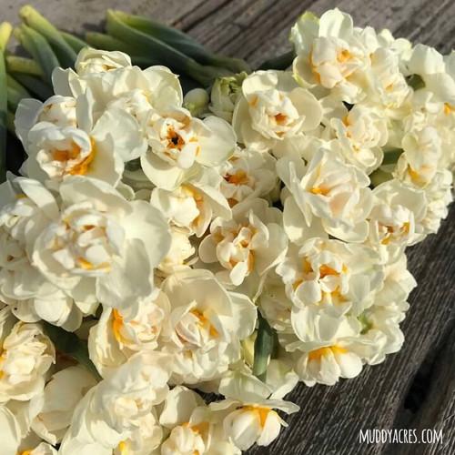 narcissus, daffodil, sir winston churchill