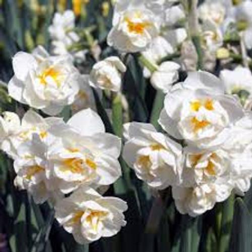 Daffodil, bridal crown, Narcissus, cut flower, cut flower, flower, double daffodil,