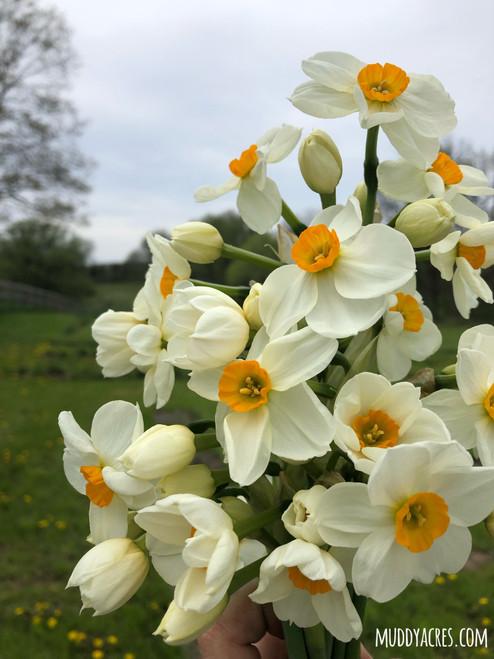 Daffodil Geranium - 10 Bulbs