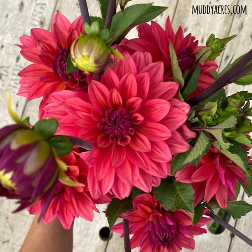 american dawn, dahlia, coral flower, pretty dahlia, american dawn tuber