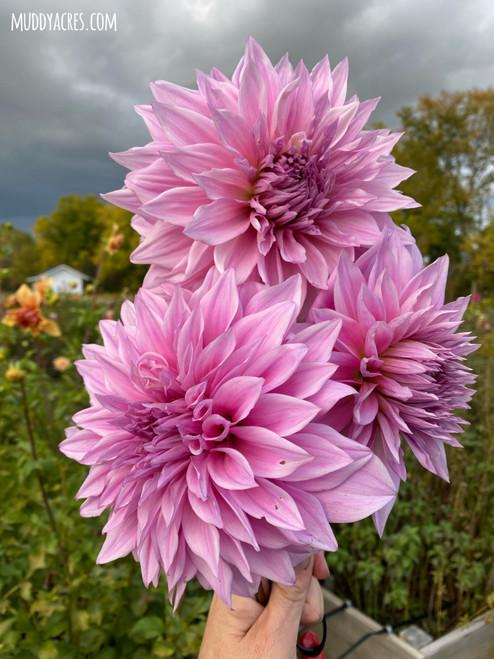 Vassio Meggos, Lilac Dahlia, Purple Dahlia, Decorative, Dahlia, tuber, dahlia tuber, vassio meggos tuber