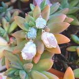 double drop pearl + fruschite earrings