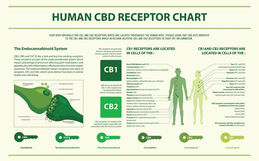 human-cbd-receptor-chart.jpg
