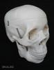 Life Size Model of Human Skull (Premium)