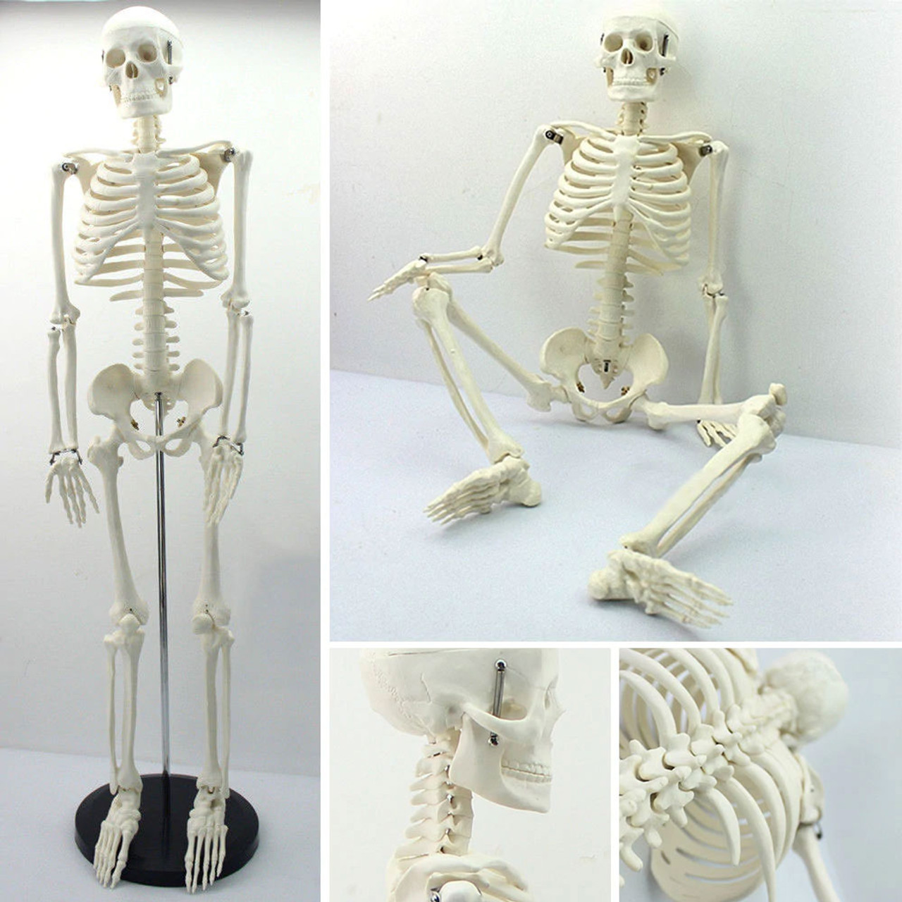 "Model Skeleton 16"" / 42cm"