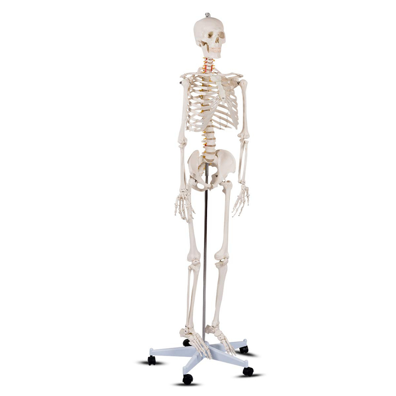 Life Size Human Skeleton Model