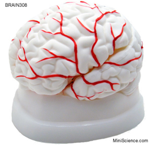 Brain Model, Dissectable in 8 pieces